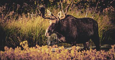 Photograph - Moose by Unsplash