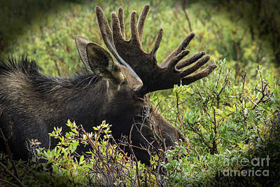 Photograph - Moose Vignette by Steven Parker