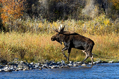 Photograph - Moose X-ing by Shari Sommerfeld