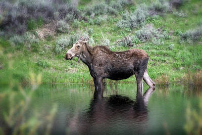 Photograph - Moose Yellowstone Np_grk6918_05222018 by Greg Kluempers