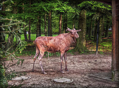 Photograph - Moose Zone by Hanny Heim