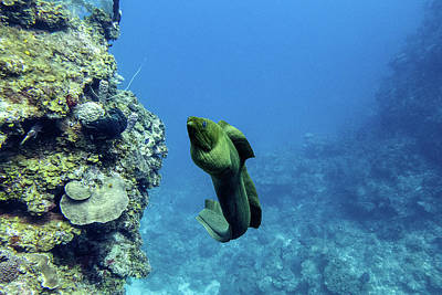 Underwater Photograph - Moray Swimming by Jim Murphy