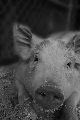 Farmanimals Photograph - Mordecai The Pig by Hailey Wilson