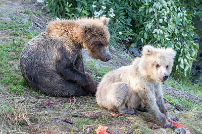 Photograph - More Bear Cubs by Phil Stone