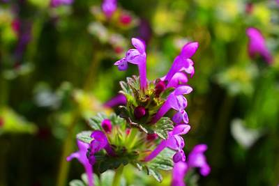 Photograph - More Henbit by Kathryn Meyer