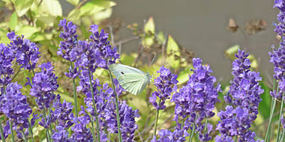 Photograph - More Lavender Love by Leslie Montgomery