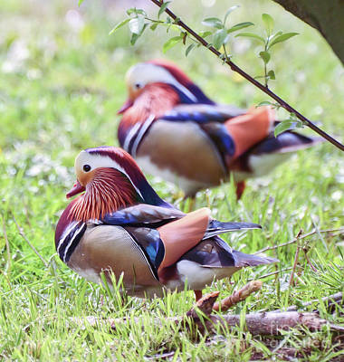 Photograph - More Mandarin Ducks by Kerri Farley