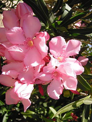 Photograph - More Oleanders by Stephanie Moore