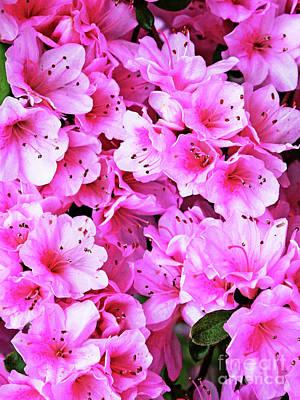 More Pink Azaleas Art Print