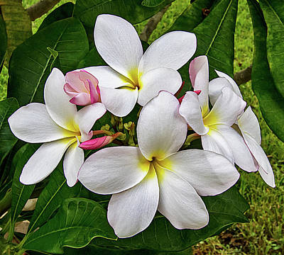 Photograph - More Plumeria Flowers In Key West by Bob Slitzan