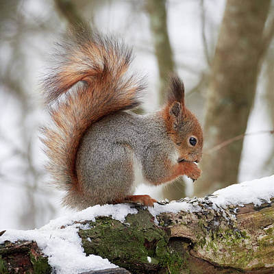 Mountain Landscape Royalty Free Images - More seeds. Red squirrel Royalty-Free Image by Jouko Lehto
