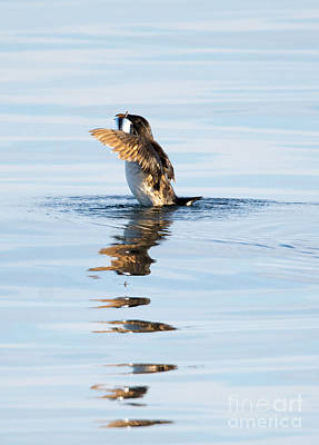 Auklets Photograph - More Than A Mouthful by Mike Dawson