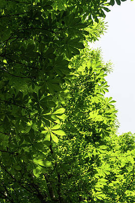 Photograph - More Than Fifty Shades Of Green - Sunlit Chestnut Leaves Patterns - Vertical Left One by Georgia Mizuleva