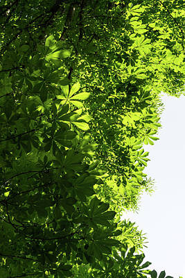 Photograph - More Than Fifty Shades Of Green - Sunlit Chestnut Leaves Patterns - Vertical Left Two by Georgia Mizuleva