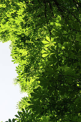 Photograph - More Than Fifty Shades Of Green - Sunlit Chestnut Leaves Patterns - Vertical Right Two by Georgia Mizuleva