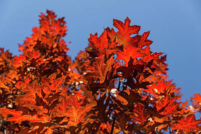 Photograph - More Than Fifty Shades Of Red - Glossy Leathery Oak Leaves In The Sunshine - Upward by Georgia Mizuleva