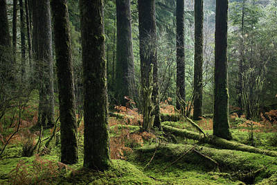 Photograph - More Tree Trunks And Ferns by Adam Gibbs