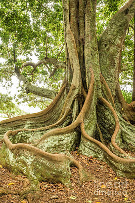 Photograph - Moreton Bay Fig 2 by Werner Padarin