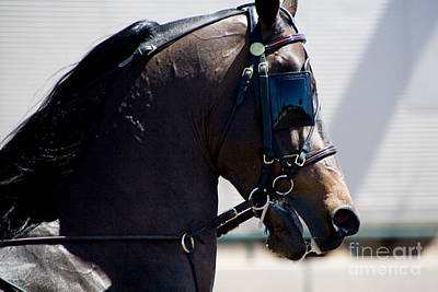 Photograph - Morgan Horse Head by Waterdancer