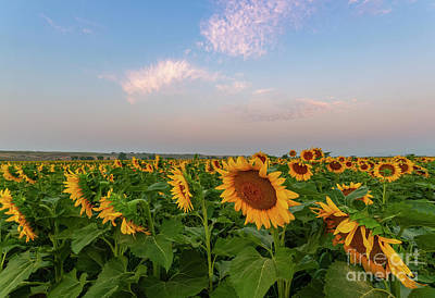 Photograph - Morning Along The Sunflower Fields by Ronda Kimbrow