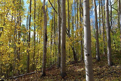 Photograph - Morning Autumn Aspen Forest by Cascade Colors