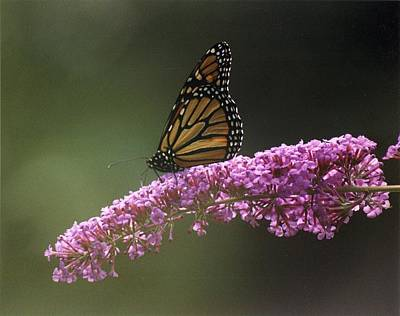 Photograph - Morning Butterfly by Fred Bonilla