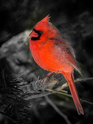Photograph - Morning Cardinal C by Kenneth Cole
