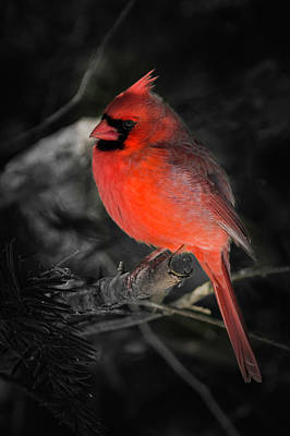 Photograph - Morning Cardinal by Kenneth Cole