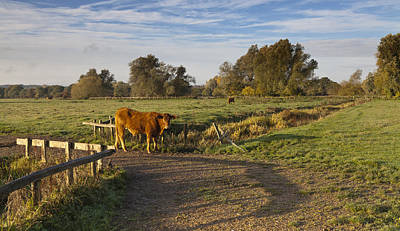 Photograph - Morning Cow by Ian Merton