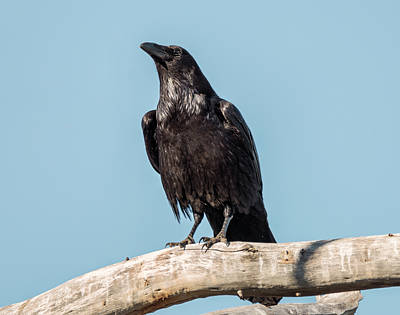 Morning Crow Art Print
