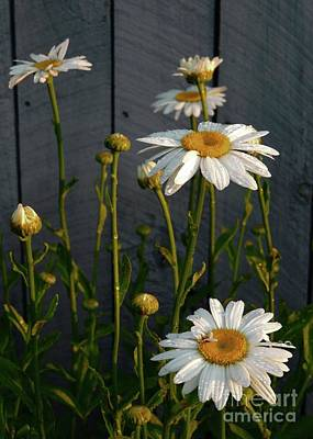 Photograph - Morning Daisies by Marcia Lee Jones