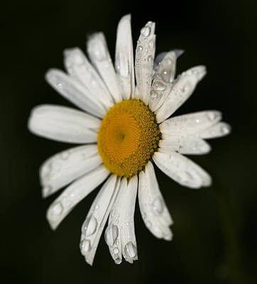 Photograph - Morning Daisy by Dan Hefle