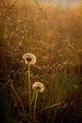 Photograph - Morning Dandelions by Mary Lee Dereske