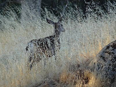 Photograph - Morning Deer by Jim Taylor