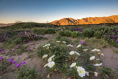 Photograph - Morning Desert Evening Primrose by Scott Cunningham