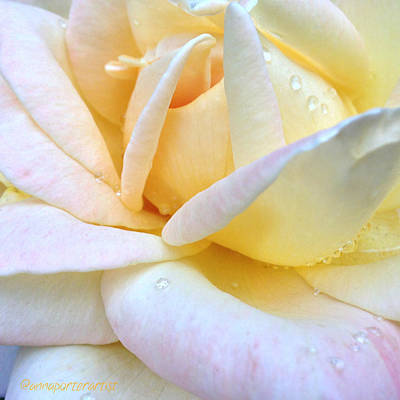 Florals Photograph - Morning Dew On A Pale Yellow Rose by Anna Porter