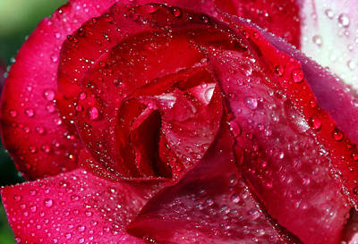 Photograph - Morning Dew On Rose by Cliff Norton