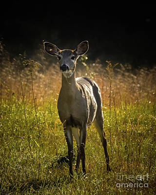 Photograph - Morning Doe by Amy Porter