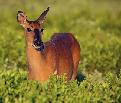 Photograph - Morning Doe by Art Cole