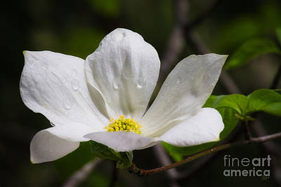 Morning Dogwood Art Print by Anthony Bonafede