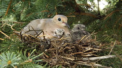 Photograph - Morning Dove And Two Babys #2 by Dennis Pintoski