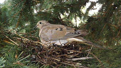 Photograph - Morning Dove On Her Nest 2 by Dennis Pintoski