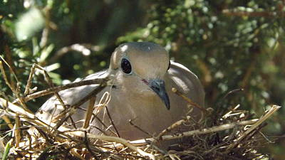 Photograph - Morning Dove On Her Nest by Dennis Pintoski