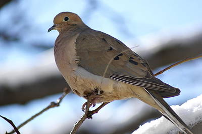 Photograph - Morning Dove by Patricia M Shanahan