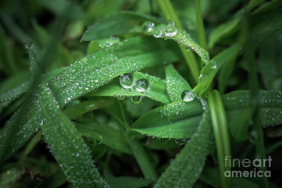Morning Drops Of Dew Original