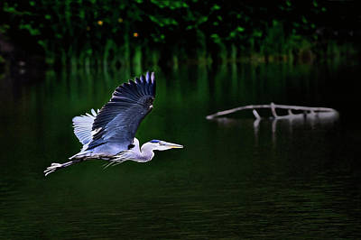 Blue Herron Photograph - Morning Flight by John Christopher