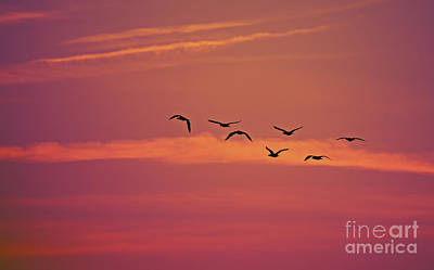 Double-crested Cormorant Photograph - Morning Flight.. by Nina Stavlund