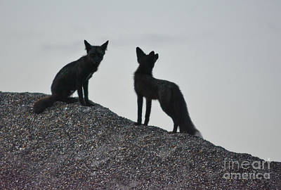 Photograph - Morning Foxes by Vivian Martin