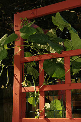 Photograph - Morning Garden Bean Plants by Margie Avellino