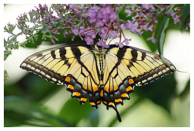 Photograph - Morning Garden  Butterfly by Margie Avellino